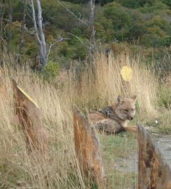 19Fuegian Red Fox
