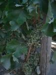 4 Chardonnay grapes